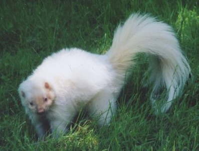 Powder Albino Skunk